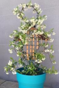 Graine / LauWagon . Sculpture Végétale . Jasmin Blanc étoilé